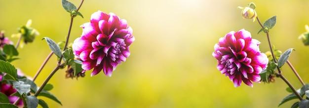 バナー。黄色に桜と白の花びらを持つダリア