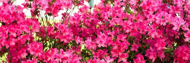 Баннер. нежный розовый летний фон. цветущий куст, много цветов и бутонов. весеннее цветение. выборочный фокус.