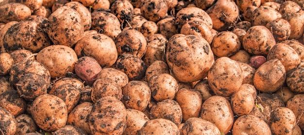 バナー、新鮮な市場での新鮮な有機茶色の皮をむいていないジャガイモ、背景。ジャガイモのテクスチャ、食品の背景。