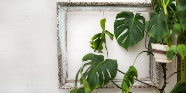 Banner from the plant in the picture. monstera framed on a white textured wall closeup and copy space.