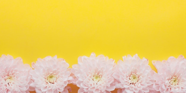 Banner light pink chrysanthemum flowers with yellow-green centers on a bright yellow background.