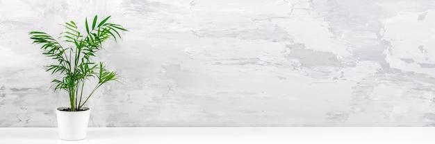 Баннер с комнатным растением зеленая пальма chamaedorea в белом горшке на столе против серой бетонной стены. вид спереди копирование пространства.