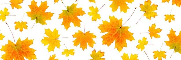 Баннер из натуральных оранжевых осенних листьев на белом фоне в качестве фона или текстуры. осенние обои для вашего дизайна. вид сверху плоская планировка.