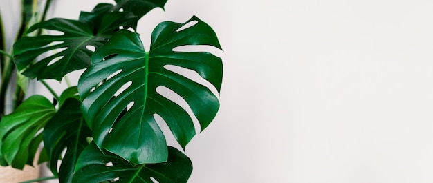 Banner monstera deliciosa or swiss cheese plant on a white background. stylish and minimalistic urban jungle interior. empty white wall and copy space.