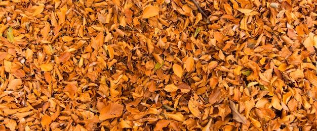 Баннер листвы для фона, в монти чимини, лацио, италия. осенние краски в буке. бук с желтыми листьями.