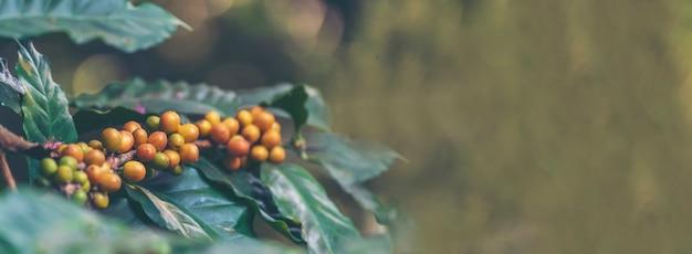 バナーパノラマイエローコーヒー豆ベリー植物イエローバーボンファームでの新鮮な種子のコーヒーの木の成長