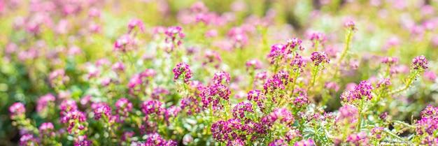 バナー。春の庭の小さなピンクの花。晴れた日。花の背景。つぼみと開花。