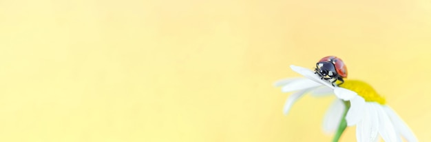 Banner. small red ladybug on a daisy flower close up. space for text