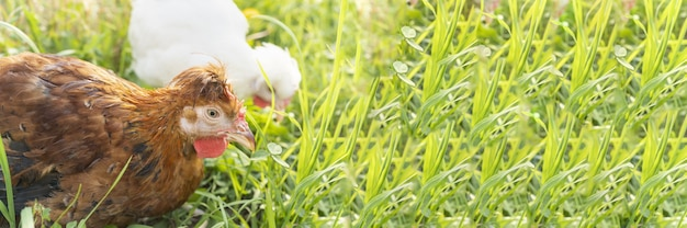 Banner two cute brown and white hens graze on farm and nibble grass. poultry, farming, farm, breeding of birds. chicken meat, laying hens, eggs, healthy natural food. ranching, animal husbandry.