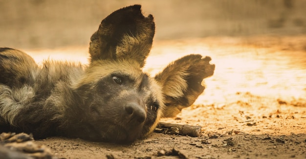 Banner of wild african dog is resting and sleeping at ground in wildlife, south africa animal portrait photo