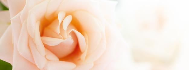 Баннер с макросъемкой бежевого свежего цветка розы. макро фото нежности розы. цветочный фон в мягком цвете и стиле размытия.