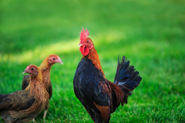 Стая цыплят bantam