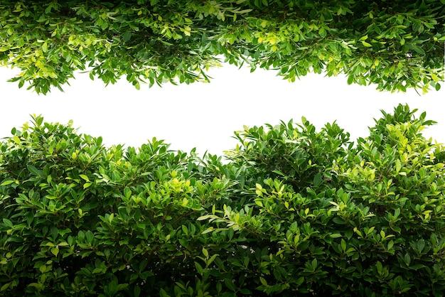 Banyan green leaf isolated on white