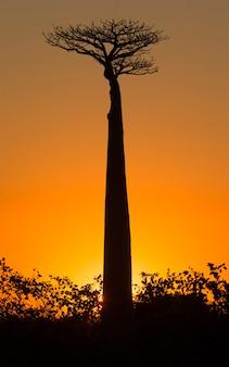 マダガスカルの夜明けのバオバブ
