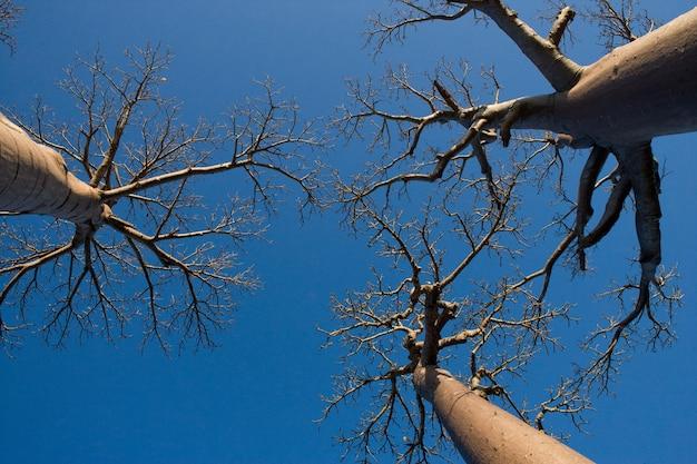 マダガスカルの背景の青い空のバオバブ