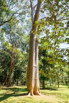 セイロンの熱帯林のバオバブの木