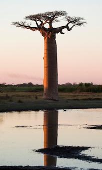 マダガスカルでの反射と水の近くの日の出のバオバブ