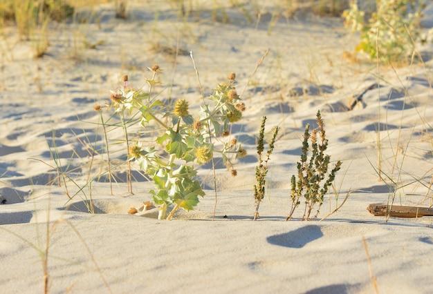 대서양 근처의 모래 언덕에 있는 미늘 에린지움