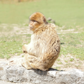 바위 위에 앉아 있는 바바리 원숭이(macaca sylvanus)