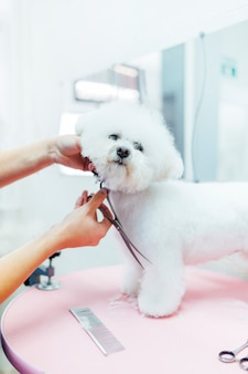 Barber grooming a beautiful white royal poodle
