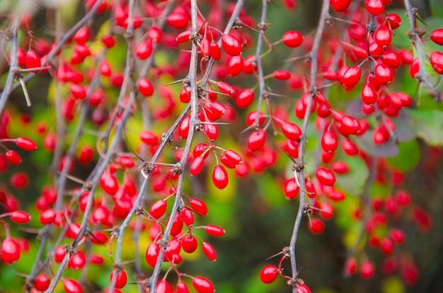 Barberry (as an autumn background)