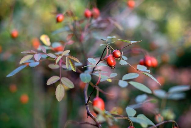 Ветка барбариса с красными спелыми ягодами осенний фон