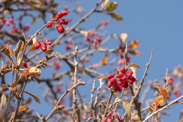 나뭇가지에 매자나무 과일