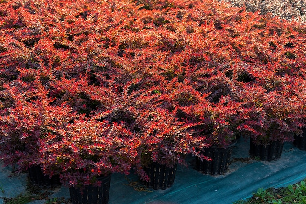 조경 원예 용 매자 나무 관목 및 정원 센터의 야외 욕조에 심었습니다.