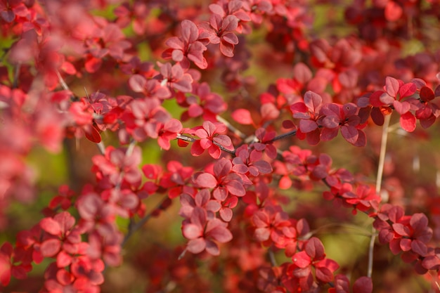 Барбарис тунберг. осенние ветви с красными листьями на размытом фоне красных листьев барбариса. концепция природы для дизайна.