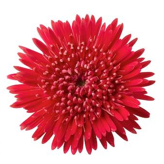 Barberton daisy, gerbera daisy flower isolated
