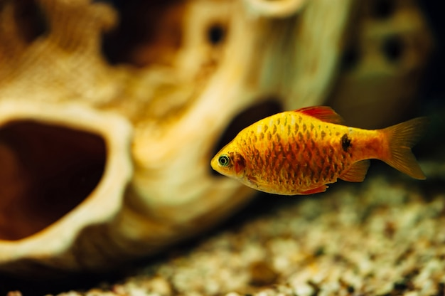 Barbus in an aquarium in the scene of a decorative ship