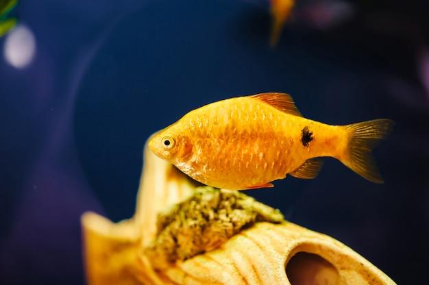 The Barbus Floats In The Home Aquarium Close Up Beautiful Aquarium Goldfish Premium Photo
