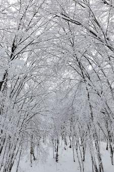 겨울에 눈 속에서 벌거 벗은 낙엽수