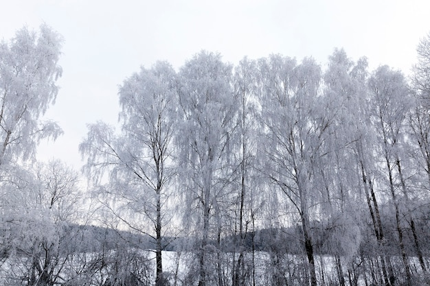 Bare deciduous trees, photographed in the winter season after snowfall and frost. photo during cloudy weather, the sky is gray