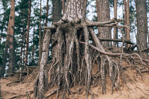 川床の砂の崖の端に生えている木の裸の根