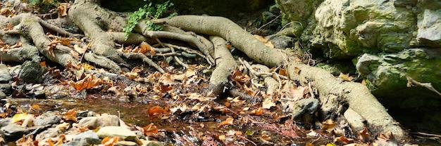 秋の石と水の間の岩の崖に生えている木の裸の根。バナー