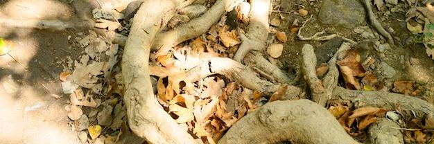 秋の岩の崖の地面から突き出た木の裸の根。バナー