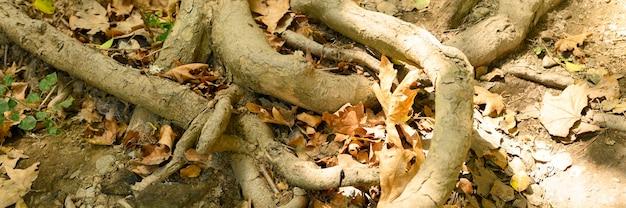 秋の岩の崖の地面から突き出た木の裸の根。