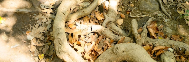 Bare roots of trees protruding from the ground in rocky cliffs in autumn. banner
