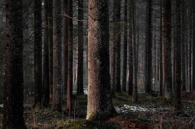 Голые высокие деревья темного леса