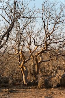 乾季によるアフリカの森林の裸の木と茂み