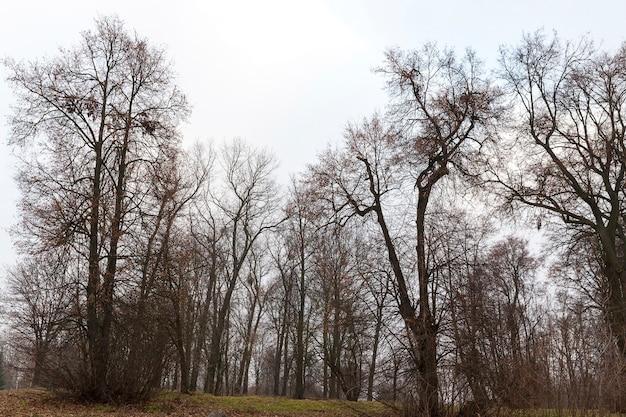 Голые стволы деревьев в парке поздней осенью. на земле лежат опавшие листья.