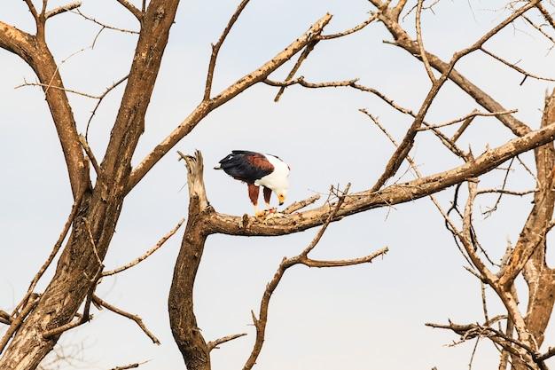 Озеро баринго рыба-орел пожирает рыбу кения