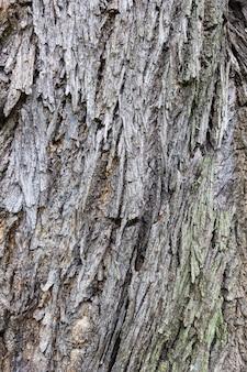 大きな木のテクスチャの樹皮