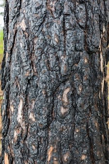 Bark of pine tree background