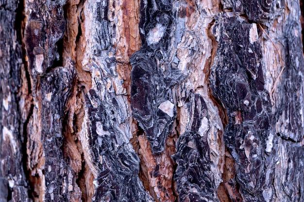 Bark of pine tree close up background