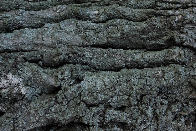 Bark of tree. the texture of the bark of a tree with moss.