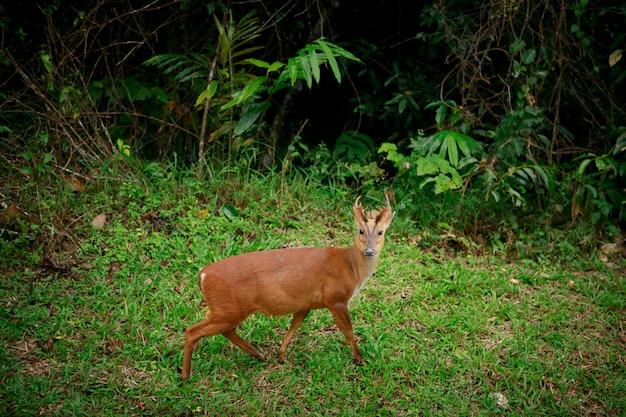 Лай оленя в национальном парке кхаояй, таиланд
