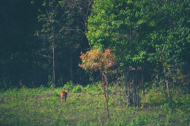 熱帯雨林で吠える鹿