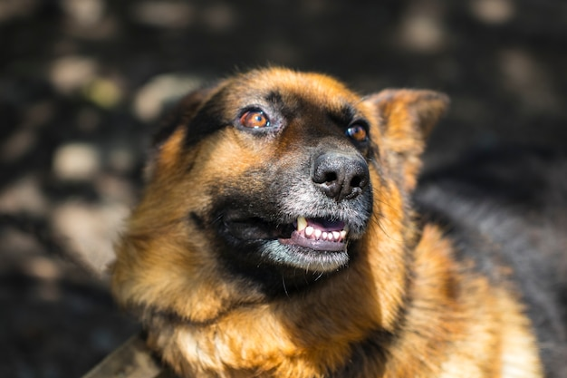 Лай разъяренной овчарки на открытом воздухе. собака выглядит агрессивной, опасной и может быть заражена бешенством.